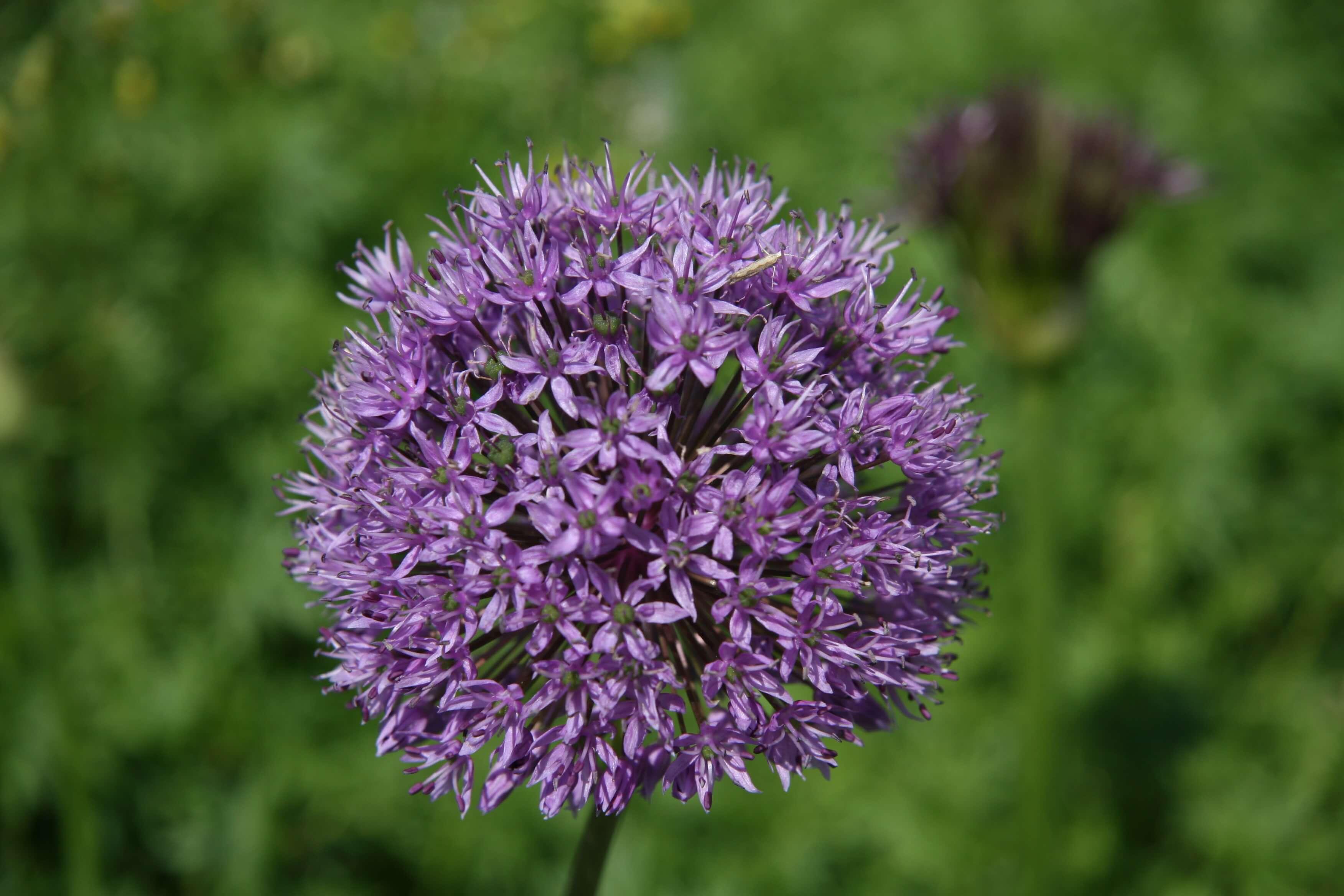Agapanthus flower in The Nurture Project garden